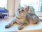 Продается котенок породы Шотландский прямоухий