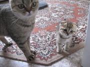 Продам вислоухого котенка.
